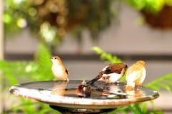 Птицы зяблика в birdbath, Флориде Стоковая Фотография