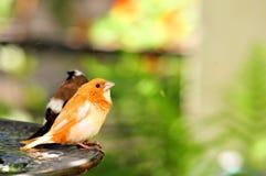 2 птицы зяблика Стоковая Фотография RF