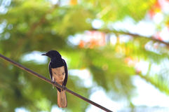 птицы изолировали белый провод Стоковое фото RF