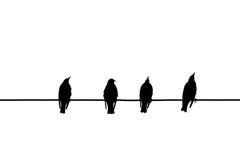 птицы изолировали белый провод Стоковая Фотография