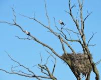 Птицы и гнездо аиста Стоковое Изображение RF
