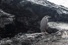 Птицы и живая природа острова Галапагос стоковые изображения