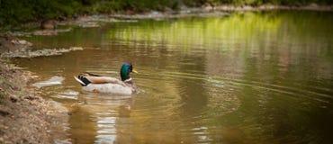Птицы и животные в живой природе Изумительные заплывы утки кряквы в озере или реке с открытым морем под ландшафтом солнечного све Стоковое Изображение RF