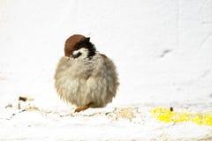 Птицы и животные в живой природе Воробей оперяется распространитель Стоковая Фотография RF