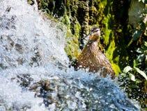 Птицы и животные в живой природе Звероловство утки для еды около wa Стоковое Фото