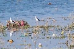 Птицы и загрязнение заболоченного места в Индии стоковые фотографии rf