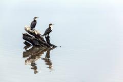 2 птицы и отражения Comorant на воде Стоковое Фото