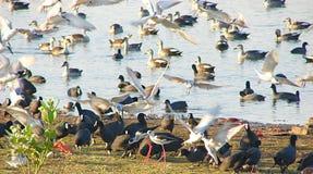 Птицы и утки на озере Randarda Стоковая Фотография RF