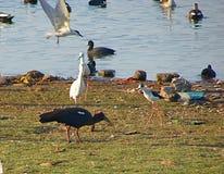 Птицы и утки на озере Randarda Стоковые Изображения RF