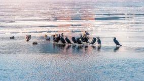 Птицы и утки на Реке Han покрыли с льдом в зиме, Кореей Стоковое Изображение RF