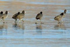 Птицы идя на замороженное озеро Стоковая Фотография