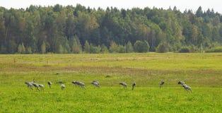 Птицы крана в луге, Литве Стоковые Изображения RF