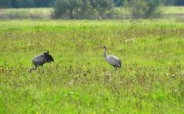 Птицы крана в луге, Литве Стоковое фото RF