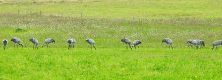 Птицы крана в луге, Литве Стоковое Изображение
