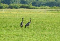 Птицы крана в луге, Литве Стоковые Фотографии RF