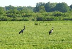 Птицы крана в луге, Литве Стоковая Фотография