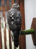 Птицы красивого ястреба hibrid изумляя стоковые фото