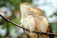 Птицы кукушки Guira Стоковое Изображение RF