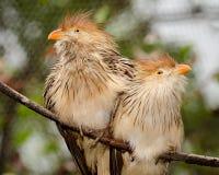 Птицы кукушки Guira Стоковая Фотография RF