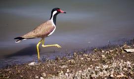 Птицы клеванные красным цветом внешние Стоковое фото RF