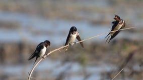 Птицы ласточки амбара в Таиланде и Юго-Восточной Азии сток-видео