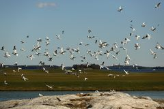 Птицы летают над полем для гольфа стоковые изображения rf
