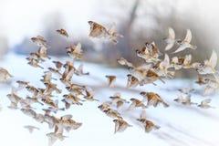 Птицы летают на снежный день на зимний день Стоковые Изображения