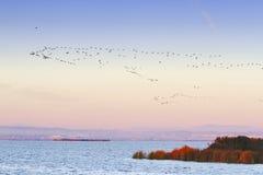 Птицы летая в озеро Albufera Валенсии Стоковое Фото