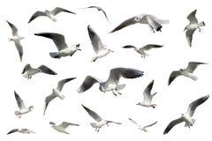 птицы летая чайки изолировали установленную белизну стоковое изображение