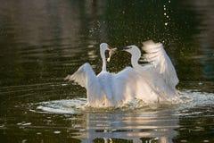 Птицы маленького Egret Стоковые Фотографии RF