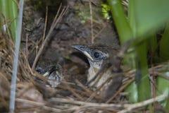 2 птицы младенца крапивниковые Каролины в гнезде Стоковое Фото