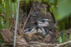 3 птицы младенца крапивниковые Каролины в гнезде Стоковое фото RF