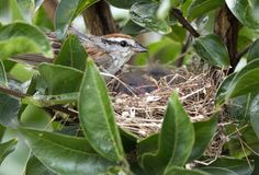 Птицы младенца откалывая воробья birding подавая в гнезде, Georgia США стоковые изображения rf
