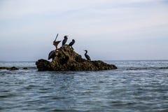 Птицы моря баклан и пеликаны Тихого океана на утесах Стоковая Фотография RF