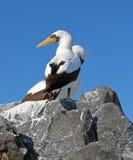 Птицы моря Галапагос Стоковые Фотографии RF