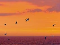 Птицы моря летают в прошлом против эффектного захода солнца около штормов реки, Tsitsikamma, Южной Африки Стоковые Фотографии RF