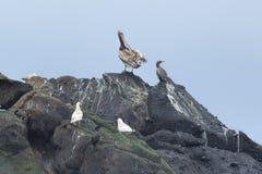 Птицы моря на утесах Стоковая Фотография RF