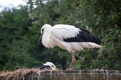 Птицы младенца белого аиста в гнезде, аисте аиста Стоковые Изображения RF