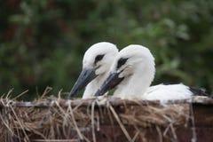 Птицы младенца белого аиста в гнезде, аисте аиста Стоковая Фотография RF