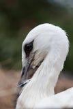 Птицы младенца белого аиста в гнезде, аисте аиста Стоковое Фото