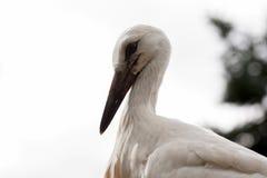 Птицы младенца белого аиста в гнезде, аисте аиста Стоковое фото RF