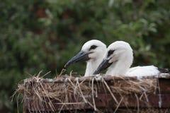 Птицы младенца белого аиста в гнезде, аисте аиста Стоковое Изображение RF