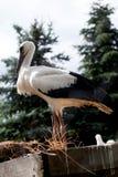 Птицы младенца белого аиста в гнезде, аисте аиста Стоковая Фотография