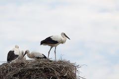 Птицы младенца белого аиста в гнезде Стоковые Изображения RF