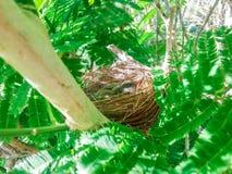 Птицы младенца в гнезде на природе дерева Стоковое Изображение RF