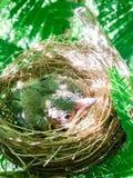 Птицы младенца в гнезде на природе дерева Стоковые Фото