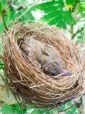 Птицы младенца в гнезде на природе дерева Стоковая Фотография RF