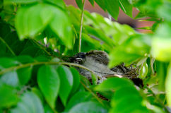 Птицы младенца в гнезде птицы Стоковое Фото