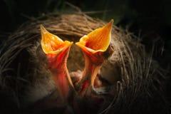 2 птицы младенца в гнезде Стоковые Изображения