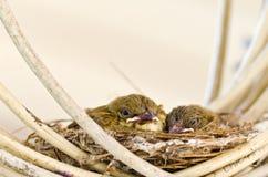 2 птицы младенца на гнезде Стоковые Изображения RF
